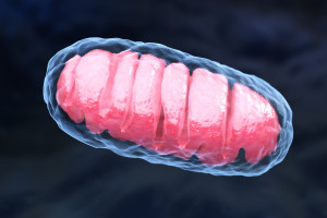 Mitochondrion is a double membrane-bound organelle found in all eukaryotic organisms. 3D illustration