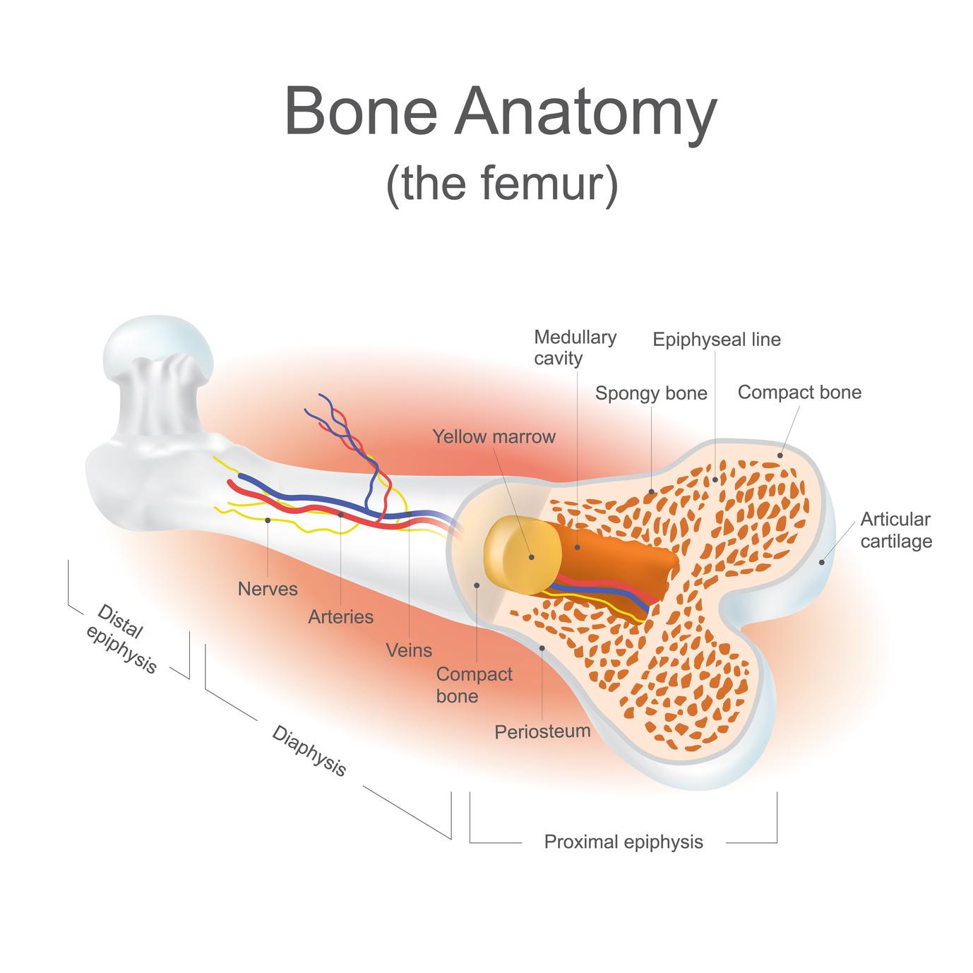 Médula ósea, la fábrica inmunitaria en nuestros huesos | MiSistemaInmune